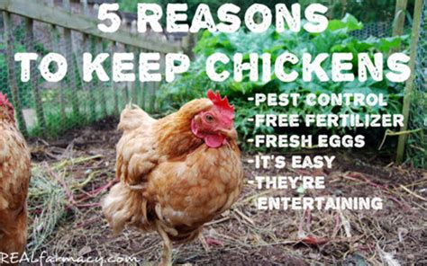 5 Reasons To Keep Chickens In Your Yard Homestead Survival How To Keep Chickens In Your Backyard