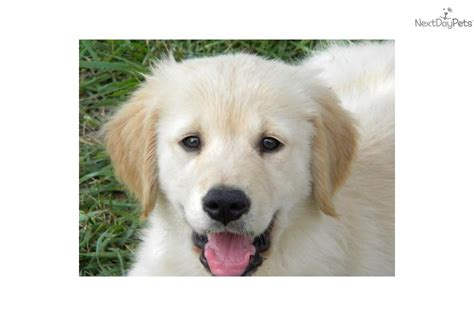 nashville golden retriever puppies golden retriever complete breeds picture