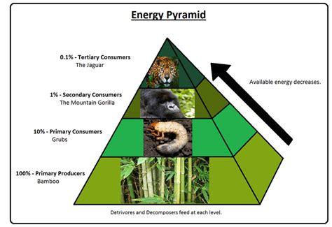 monkey food chain diagram endangeredspeciesbiomesprojects the mountain gorilla