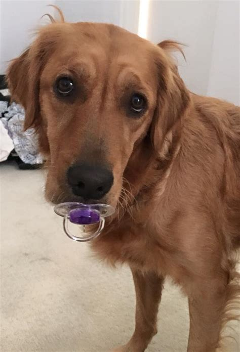 looking for a golden retriever puppy to adopt golden retriever egg in dogs our friends photo