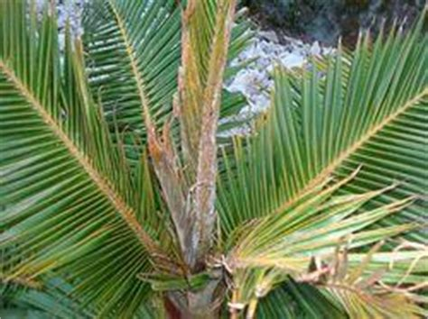 palm disease discussing palm trees worldwide palmtalk