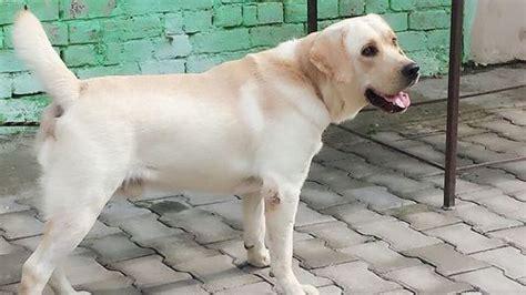 lebra dog breed lebra dog breed supplier trading