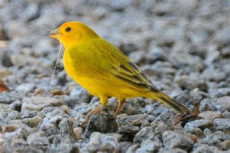 17 best images about yellow birds on pinterest canada
