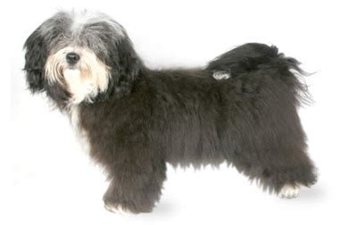 corgi havanese small breeds list a to z complete with pictures dbcentral
