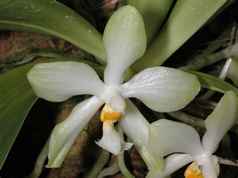 Tropical Island Plants - phalaenopsis micholitzii