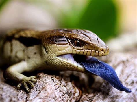 blue tongue blue tongued lizard picture animal wallpaper national geographic photo of the day