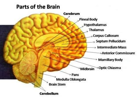 sections of the brain and what they do how does the nervous system work