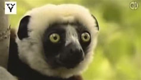 zoboomafoo lemur jovian  died
