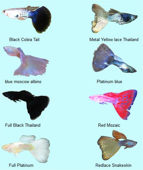 Makanan Ikan Cupang Lumut the of underwater guppy ikan seribu