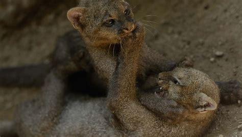 imagenes jaguarundi cachorros jaguarundi reciben atenci 243 n en el zool 243 gico