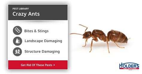 crazy ants types facts    identify crazy