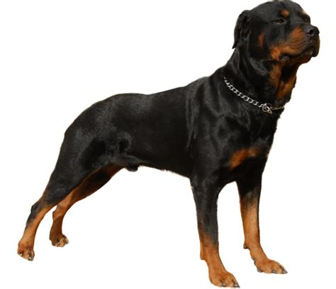 Do Rottweiler Shed by Rottweiler Breed Health History Appearance