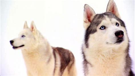 dogs 101 husky siberian husky dogs 101 animal planet