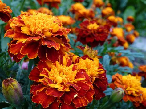 planting fall flowers for autumn colors list of best