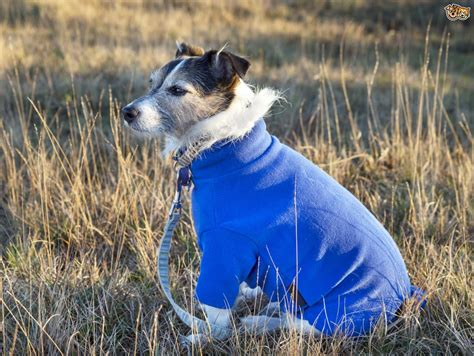 what do dogs need do dogs need coats and other clothing in the winter pets4homes