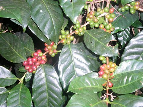 coffee plant wallpaper wallpapers sanjay kattimani