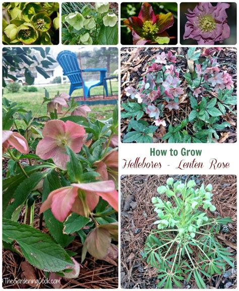 helleborus perennial how to grow hellebores lenten rose
