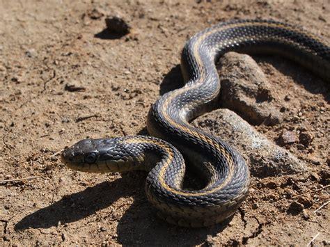 Garden Snake In Garden Snake Wiki