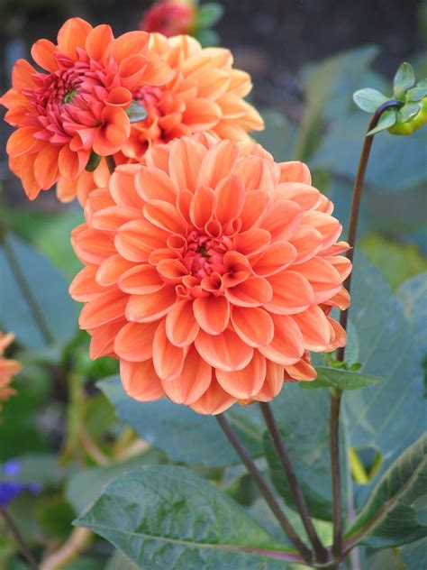 autumn flower dahlia echelon florist
