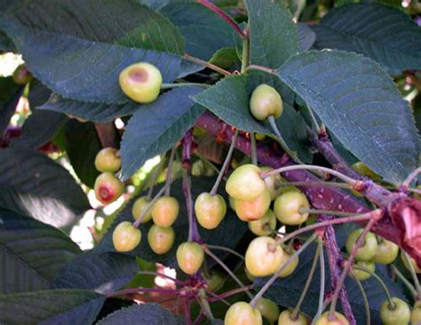 fruit tree spots managing bacterial canker in sweet cherries what are the