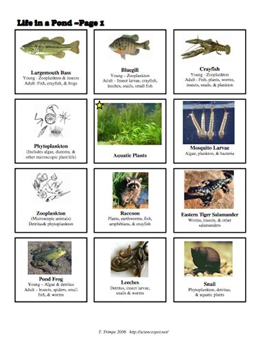 Food Chain Template Cards by Here S A Series Of Picture Cards And An Activity For