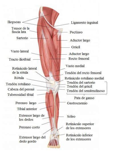 dolore interno coscia inguine lumboci 225 tica o ci 225 tica aguda dolor sintomas