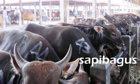 Bibit Sapi Madura pasokan bibit sapi qurban 2014 sapibagus