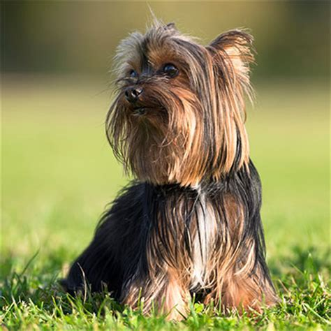 small breeds yorkie terrier small breeds dbcentral