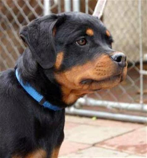 my rottweiler my new rottweiler puppy a of rottweilers