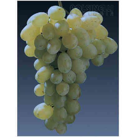 barbatelle uva da tavola uva da tavola barbatelle polsinelli enologia