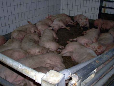 Backyard Hog Raising by Memoirs Of A Navy Brat Raising Pigs For Food And Profit