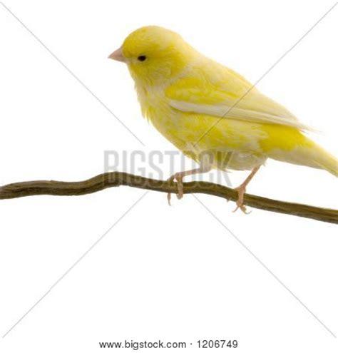 canaries bird yellow stock photos canary bird images illustrations vectors canary bird