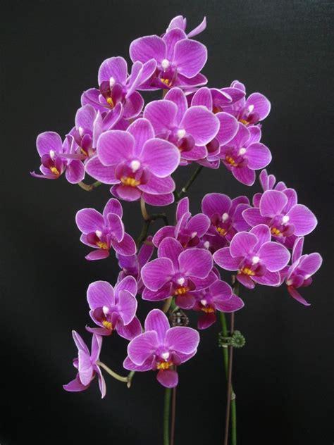 Trubus Info Kit Phalaenopsis dtps younghome lilien berry dtps gem stripes x dtps sogo yenlin