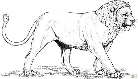 pride of lions coloring page disegno di leone con la criniera corta da colorare