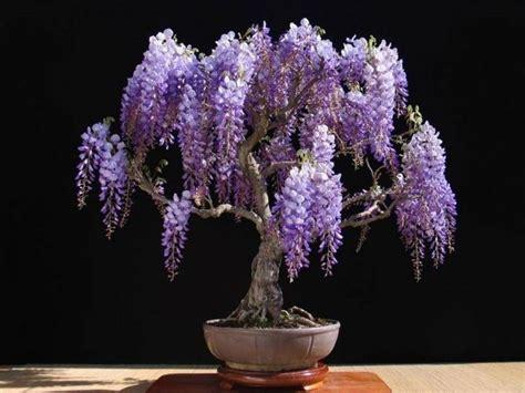 bonsai fiori bonsai glicine bonsai