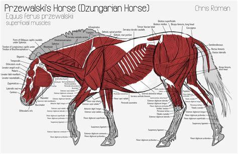 horses muscles diagram chris october 2011