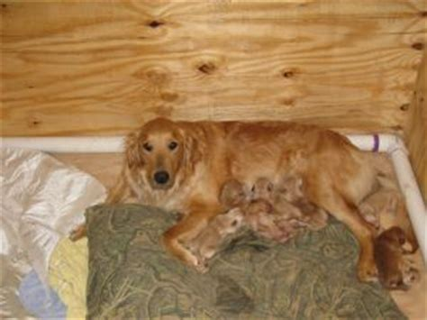 golden retrievers for sale in virginia golden retriever puppies in west virginia