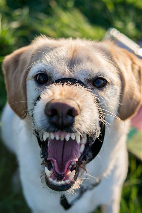 golden retriever puppy teeth falling out gambar anak anjing hewan membelai binatang menyusui