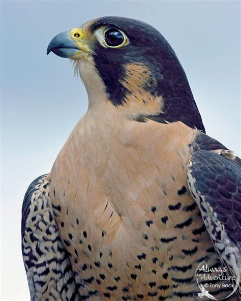 images of a falcon the enigmatic peregrine falcon 187 focusing on wildlife