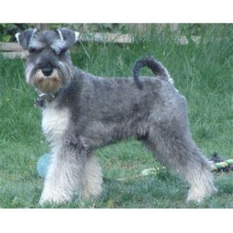 breeds az miniature schnauzer breeders in arizona freedoglistings breeds picture