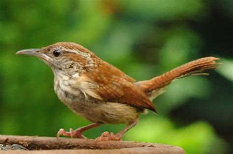 carolina wren project noah