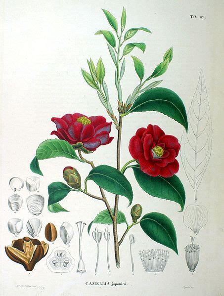 walzer dei fiori camellia japonica nucci s gem singerella s