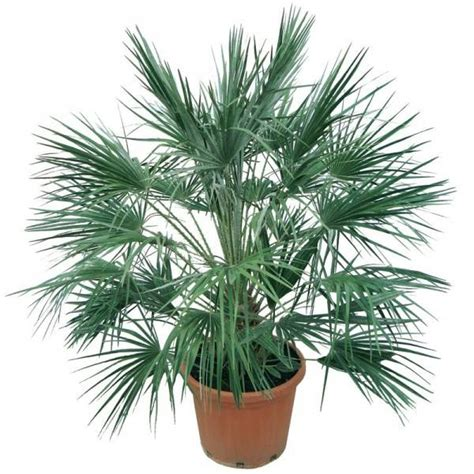 palme in vaso palma pianta piante da giardino palma pianta