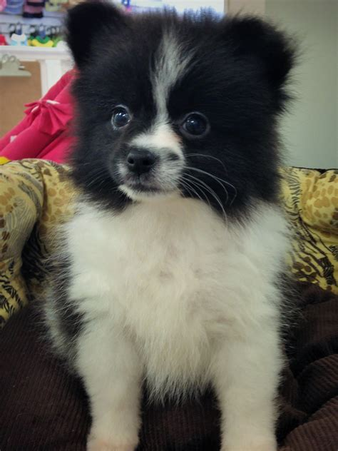 black and white teacup pomeranian for sale image white teacup yorkie puppies sale adanih