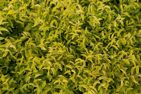 shrub with yellow green leaves clippix etc educational photos for students and teachers