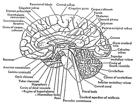 sagittal section of brain labeled what is what if
