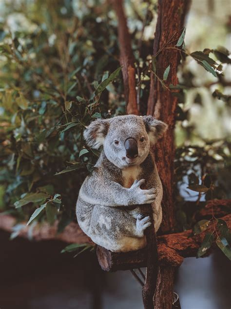 photo  gray koala bear hugging tree  stock photo