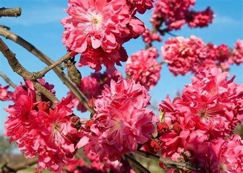 alberi da giardino fioriti alberi da fiore alberi alberi con fioritura