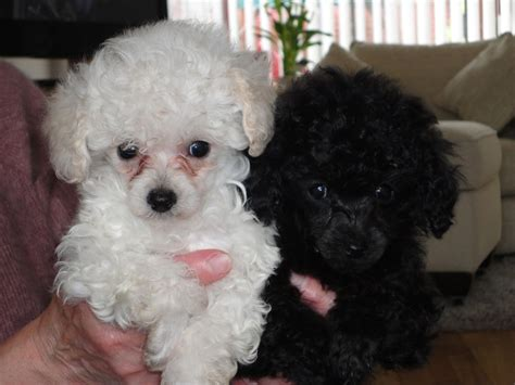 poodle puppies for sale stunning poodle puppies for sale milton keynes buckinghamshire pets4homes