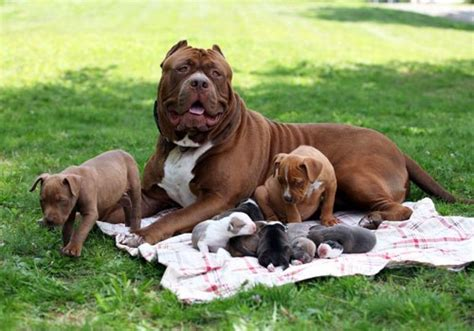 best food to feed a pitbull puppy best food for pitbulls muscular needs high protein diet